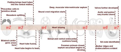 File:Advanced Heart Development Timeline