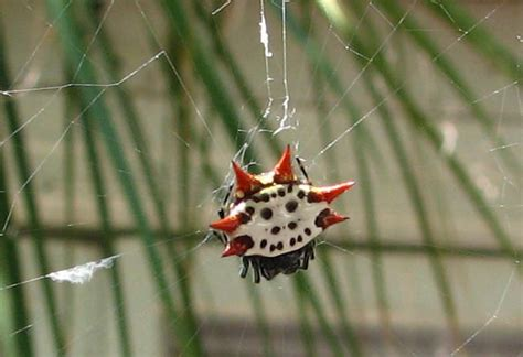Native Texas Spiders www