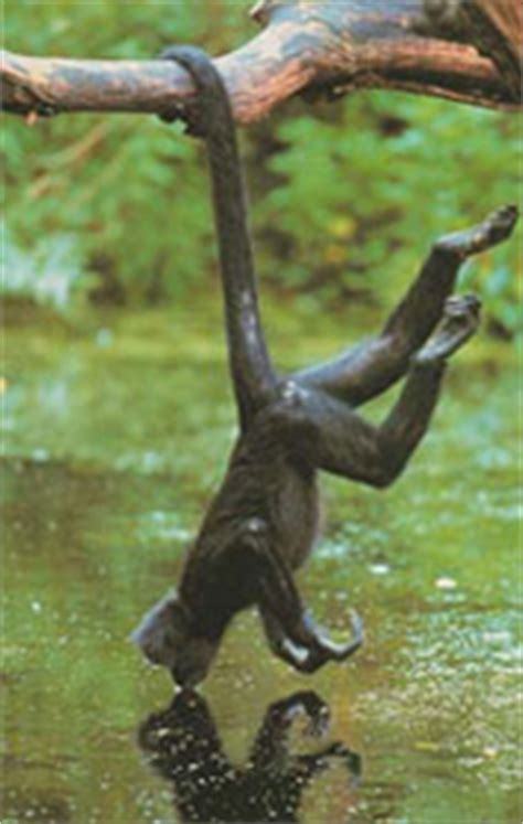 Trans-Amazon Expedition: Spider Monkeys: Acrobats of the