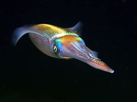 It is what you eat as calamari, - squid, - one of the most