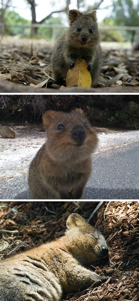 Meet The Quokka, The Happiest Animal In The World (PHOTOS