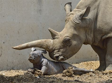 Rare rhino born in Ramat Gan Safari | The Times of Israel