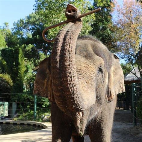 Elephants in our care | Perth Zoo