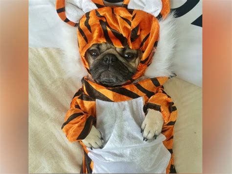 Doug the Pug Shares Best Halloween Costumes, New Book